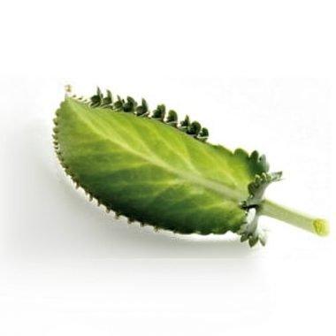 Аппликации с листьями каланхоэ