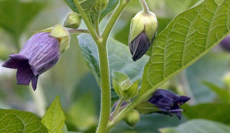Свойства растения красавки