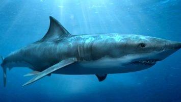 свечи от геморроя с акульим жиром