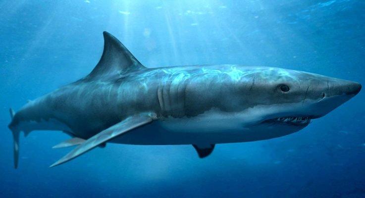 Особенности акульего жира