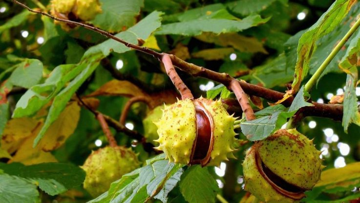Орехи конского каштана